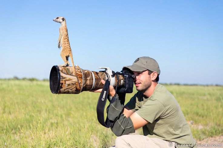 """Sono le """"sentinelle del deserto"""", appartengono alla famiglia delle manguste e sono famose per la loro postura eretta. Quando il fotografo  Will Burrard-Lucas  ha deciso di ritrarle nelle pianure aride dell'Africa meridionale, non immaginava di poterle osservare così da vicino. Ma i"""