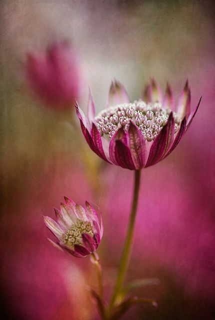 Astrantia by Mandy-D.: Flore, Pink Flowers, Disher Floral, Astrantia Major, Mandy Disher, Backgrounds, Beautiful Flowers, Natural, Photo