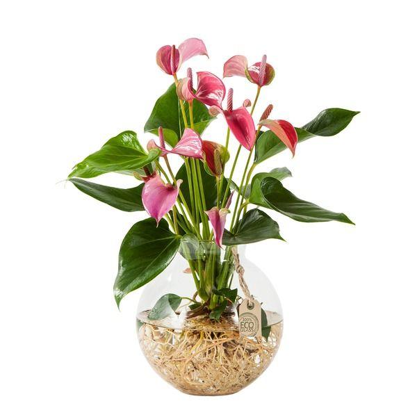 Flamingoblume Water Plant In Pink Mit Glas Kugelvase Blume2000 De Indoor Pflanzen Dekor Wasserpflanzen Pflanzen Dekor