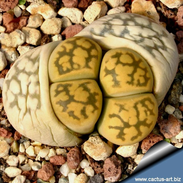 Lithops. You can see the new darker lithops  growing. It will take the nutrients from the outside of the plant and that will die and dry up leaving the new plant. Do not water at all between October and Spring.