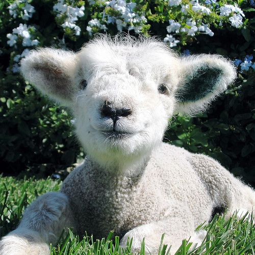 The cutest lamb ever!!!