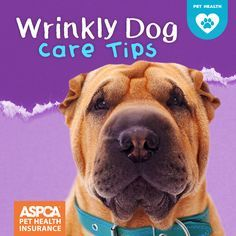 All those wrinkles make breeds like Mastiffs, Shar Pei, and Pugs so darn cute! But those adorable wrinkles need a little extra attention to make sure they stay clean and healthy. Here's what you need to know about caring for a dog with wrinkles.
