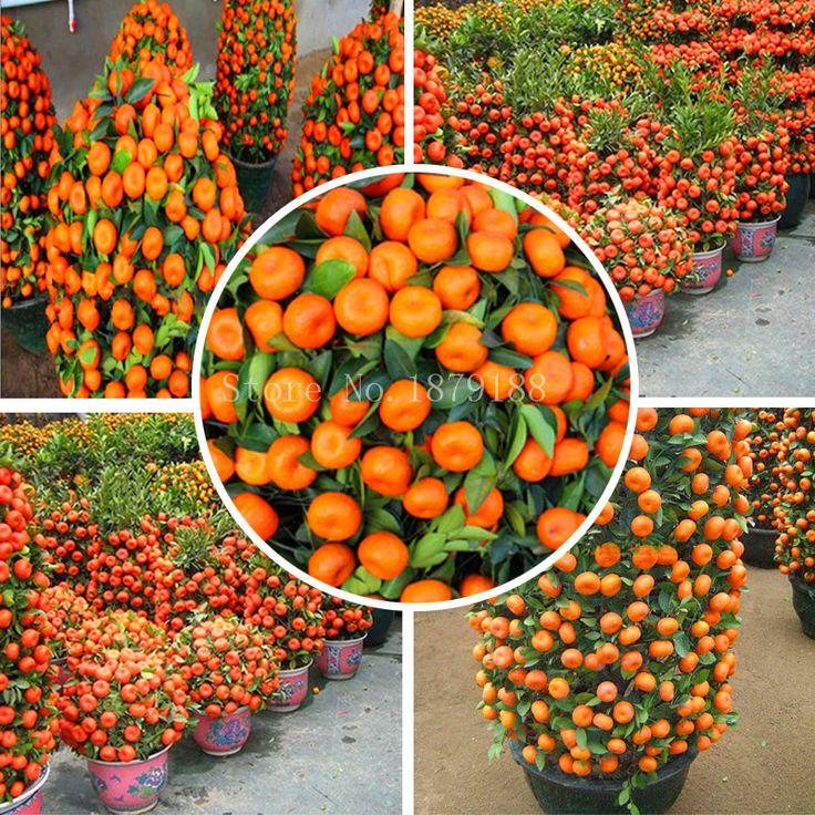 Mandarin orange zwerg samen drinnen im freien obst baum samen 30 stücke + a01