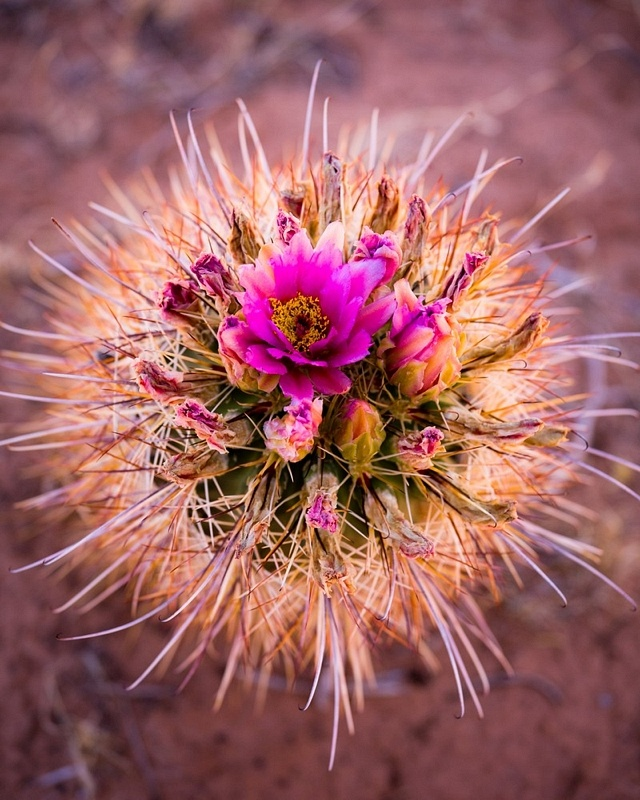 Cactus-Bloom by Adam Schallau