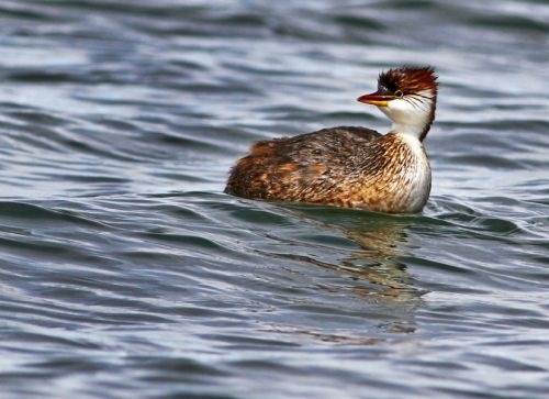 Titicaca Grebes may only be found on Lake Titicaca, but they're pretty easy to see once you get there!