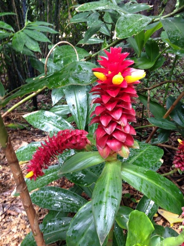 Spiral Ginger Costus Spiral Gingers Are Heat Loving Subtropical Plants With Colorful Orange Or Red Flowers That Bloo Plants Free Plants Plant Identification