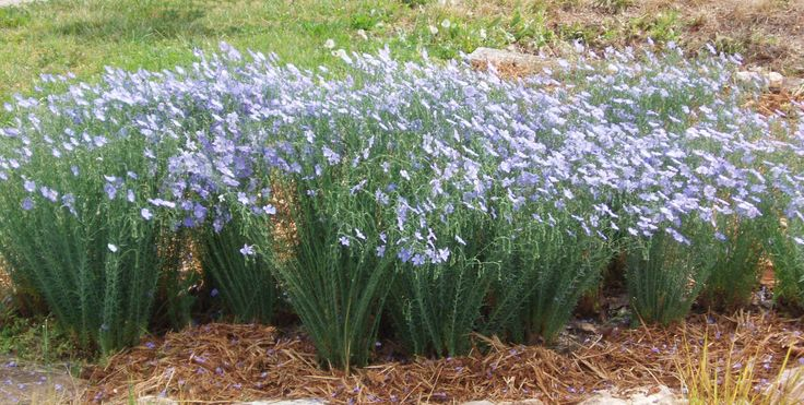 Blooming Flax Plants in the Garden