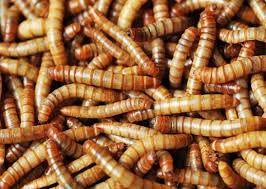 Sušené múčne červy