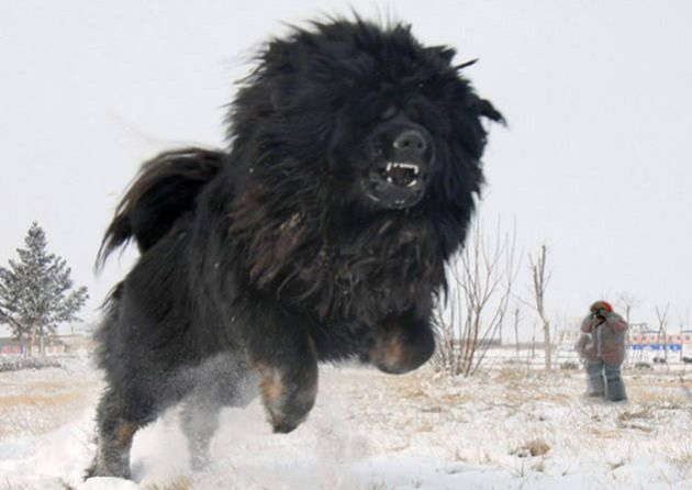 Stalingrad, Russia – Russian officials are confirming the existence of a new dog species: the giant Tibetan Mastiff. To date, dozens of reported sitings of giant Tibetan mastiffs running throughout the Russian Siberian tundra have been reported, but it was not until this week that researchers were able to confirm the dog. As locals had reported, the dog looks fierce but is actually friendly and social.