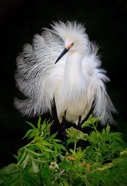 Snowy Egret Photo by Daniel Cedras