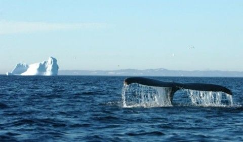 Whale Tale & Iceberg Newfoundland
