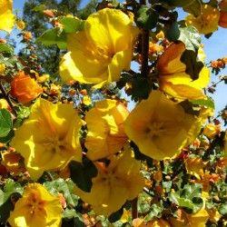 Comment planter le Fremontodendron : Le Fremontodendron 'California Glory' est un arbuste à port érigé développant de grandes tiges brunes pouvant atteindre 2 à 6m. De croissance assez rapide, il donne rapidement de magnifiques fleurs jaunes de 5cm de diamètre au printemps et en début d'été. Le feuillage du Fremontodendron est persistant, joliment lobé. On plante le Fremontodendron 'California Glory' au soleil, à l'abri du vent, contre un mur pour le palisser. On peut ...