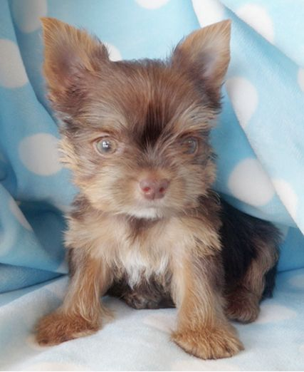 Chocolate Yorkie Puppy by TeaCupsPuppies.com