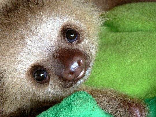 SlothCute Animal, Sloths Baby, Critter, Baby Sloths, Creatures, Babysloths, Baby Animal, Things, Adorable Animal