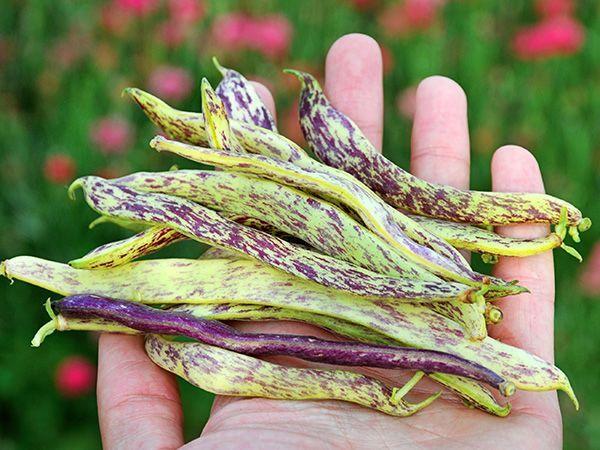 Dragon Tongue Bush Bean In 2020 Bush Beans Heirloom Seeds Dragon Tongue Beans