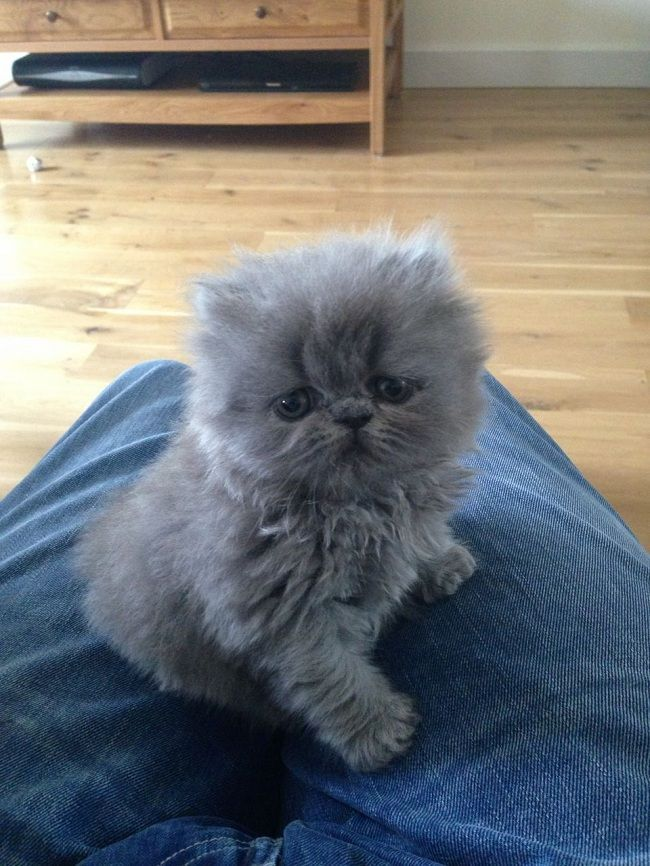 grey blue persian cat