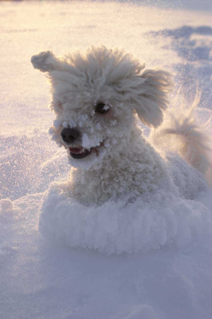 Poodle playing in the snow