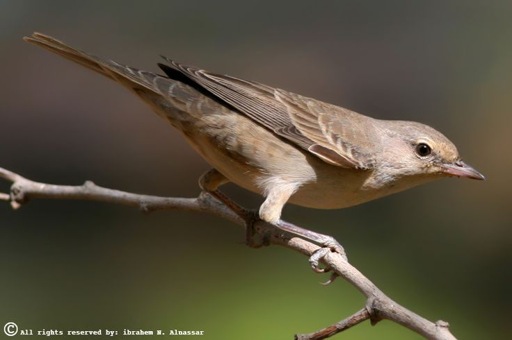 The garden warbler is a common and widespread small bird that breeds in most of Europe and in western Asia. SYLVIIDAE.