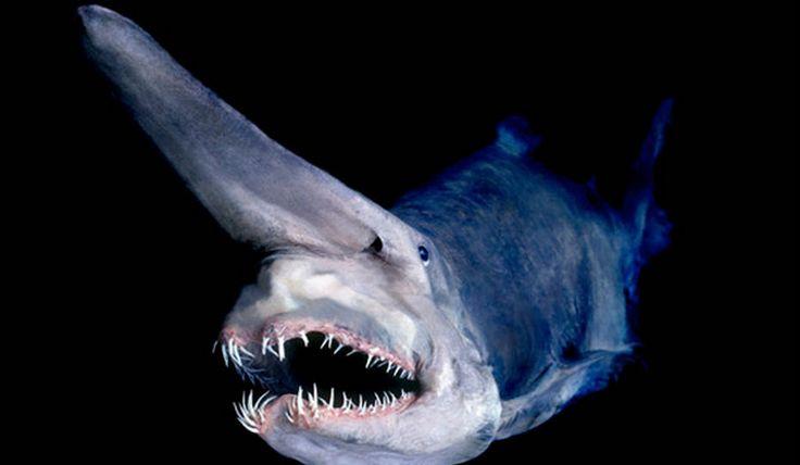 o asustador tubarão-duende