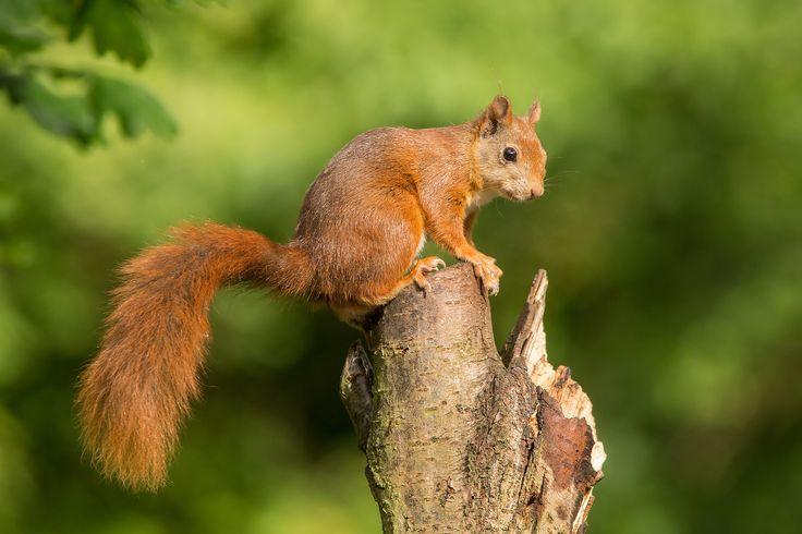 Red Squirrel - Rode eekhoorn   by wimzilver