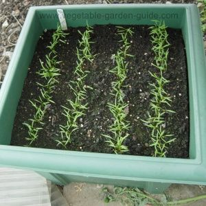 Carrot seedlings getting bigger