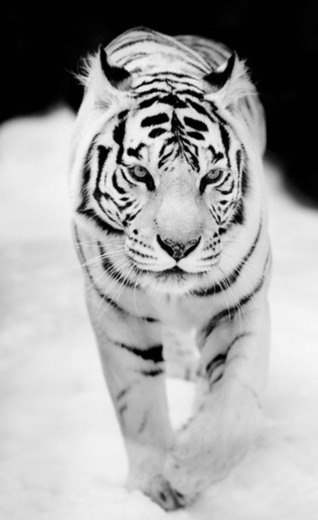 I really want to hug this tiger once in my life