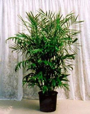 25 best ideas about bamboo palm on pinterest dracaena for Dog safe houseplants