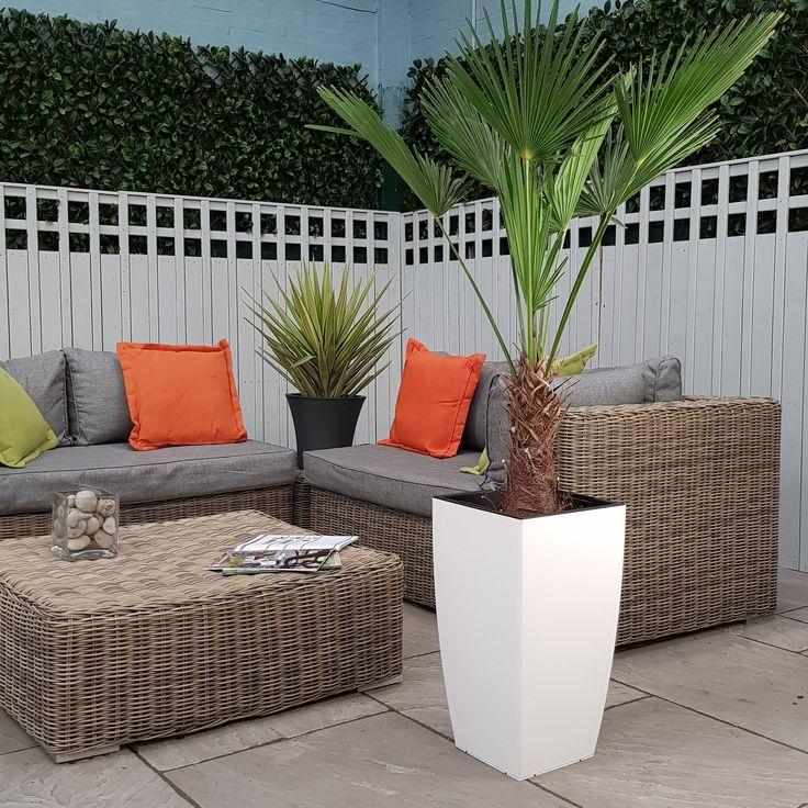 Trachycarpus Fortunie Palm Tree 4.5-5.5ft+ Indoor or Outdoor (Inc Decorative Planter Choice)  #trees #baytreewedding #baytree #indoorplants #olivetrees #houseplants #palmtrees #gardendesign #wetmyplants
