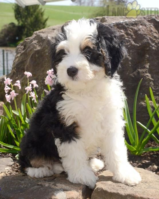 HADDI Mini Bernedoodle Puppy for Sale in Fresno, OH