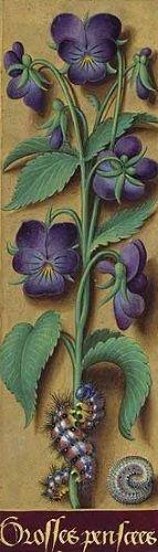 Synonymes: pensée tricolore, violette tricolore, violette des champs, petite jacée, clavelée, herbe de la trinité, petite belle-mère (de l'allemand stiefmütterchen). Contrairement à la viole…