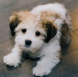 #1 Mistake When Training a Morkie Puppy