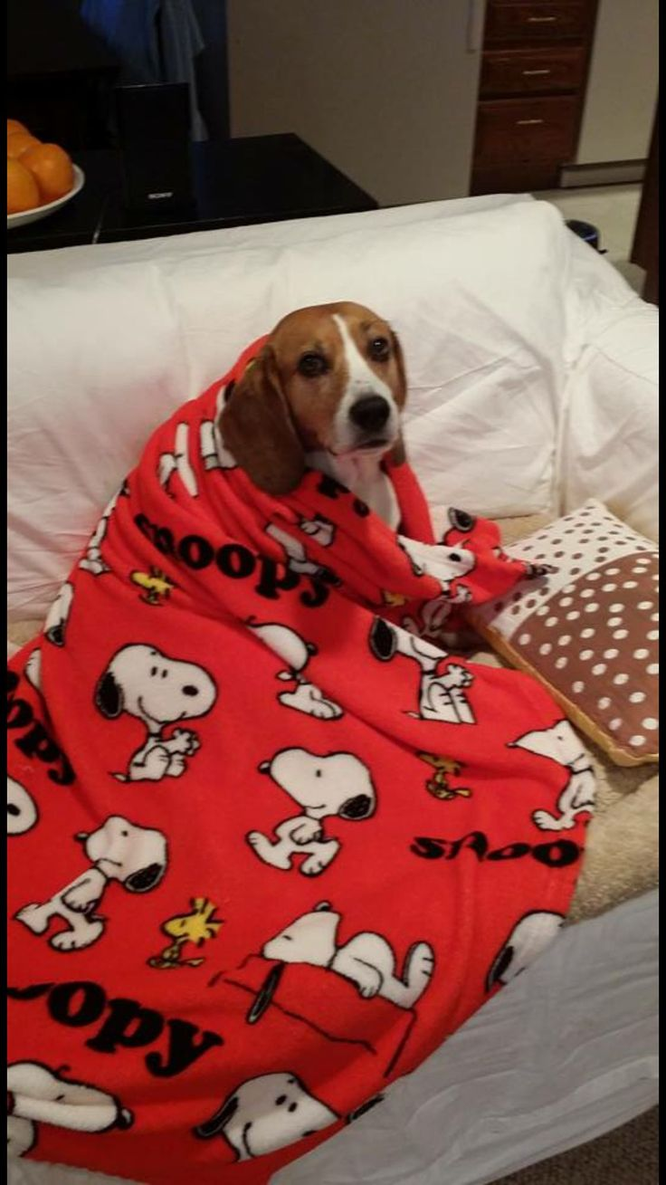 Amazing Snoopy Beagle Beagle Adorable Dog - cf5f2a72fed75534adb854bd6164048f  Gallery_80165  .jpg