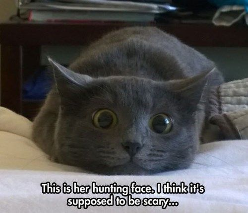 """My husband's cat The Swiffer does this too; he calls them """"Swiff's Asshole Eyes"""" because when he makes that face, that means he's picking on the other cats. Come to think of it, The Swiffer is the same color as this cat, only Swiff is long-haired. Must be a grey-haired cat thing. (via weheartit)"""