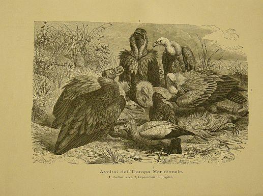 Muetzel G. - Jahrmargt K. - Avvoltoi dell'Europa Meridionale.  s.d. (ma 1900 ca.). Storia natule - Etologia - Animali - Uccelli - Ornitologia  - Stampa - Scienza -  -