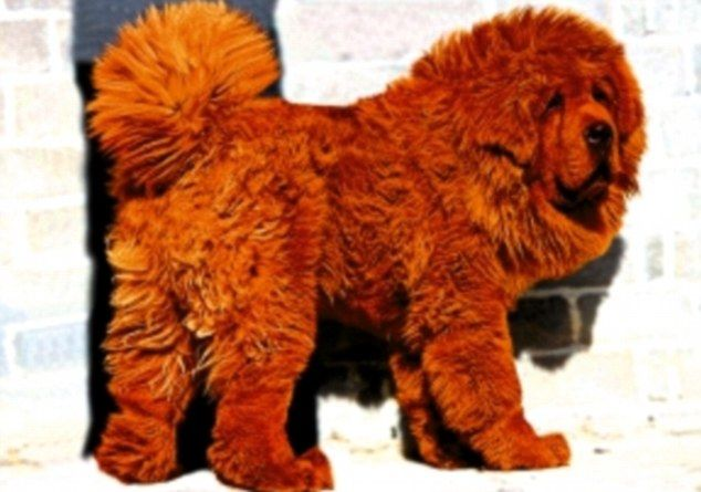 The world¿s most expensive dog is Big Splash the Tibetan Mastiff bought by a Chinese coal baron for £945,000 in 2011