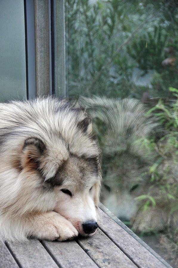 Alaskan Malamute-he is sooo adorable! Let him in please!!