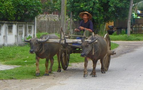 The villagers rely on the help of water oxes in Myanmar.