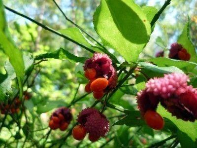 strawberry-bush-fruit