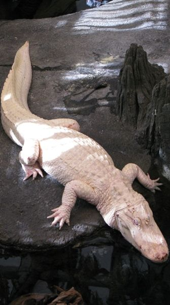 Albino Alligator. Sweet.