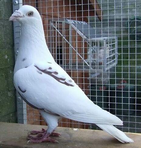 •Meulemans•   Pigeon loft, Pet pigeon, Racing pigeon lofts