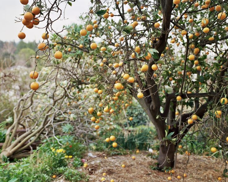 Winsome  Best Images About Orange  Trees Ect On Pinterest  Green  With Likable Orange Tree By Ye Rin Mok With Extraordinary Garden Tree Identification Uk Also In The Night Garden Season  In Addition Haydock Garden Buildings And Garden Stones Cape Town As Well As Endsleigh Garden Centre Plymouth Additionally Wood Chippings For Garden From Pinterestcom With   Likable  Best Images About Orange  Trees Ect On Pinterest  Green  With Extraordinary Orange Tree By Ye Rin Mok And Winsome Garden Tree Identification Uk Also In The Night Garden Season  In Addition Haydock Garden Buildings From Pinterestcom