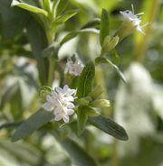 Stevia Rebaudiana: Pianta per la #decrescita felice