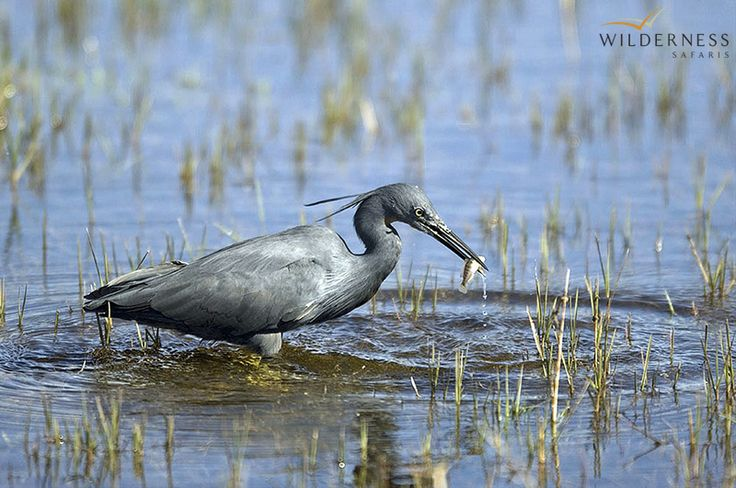 Slaty Egret - the birdlife at Kwetsani Camp is very rewarding, particularly when viewing from the silence of a mokoro... #Okavango #Birding #Botswana #Safari #Africa