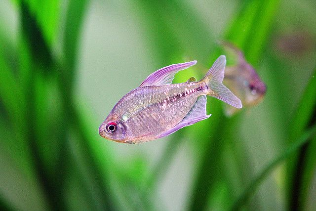 Diamond Tetra, via Flickr.