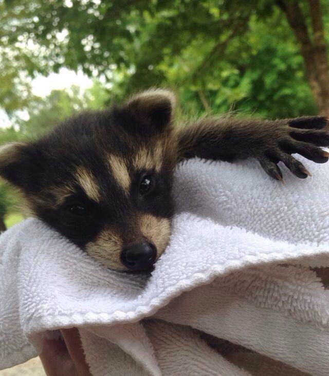 Rescued Baby Raccoon Baby Raccoon Animals Raccoon
