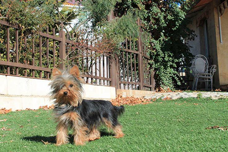 Cachorrito de raza Yorkshire Terrier vendido por el Criadero Canino LaNeblina