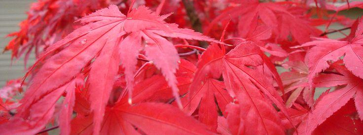 L'acero giapponese a foglia rossa  Un piccolo albero elegante dalle foglie palmate di diversi colori: dal verde brillante al rosso porpora. Perfetto in vaso e resistente al freddo, arreda da solo un angolo del terrazzo. http://www.cosedicasa.com/casa-in-fiore/