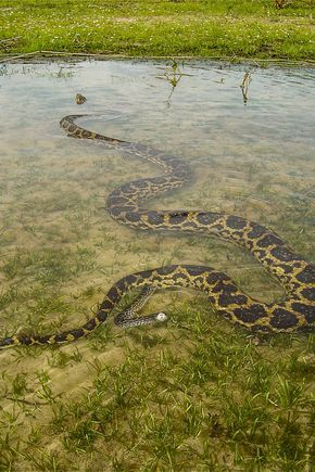 Yellow anaconda giving birth////Sucuri-amarela dando a luz. Foto: Tomas… (Eunectes notaeus)