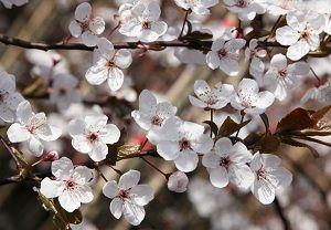 """Floral de Bach Cherry Plum -  """"Medo de que a mente esteja excessivamente tensa, de perder a razão, de fazer coisas terríveis e desagradáveis, coisas não desejadas e subitamente erradas, mas ainda assim, surge o pensamento e o impulso para cometê-las."""" Dr. Edward Bach"""