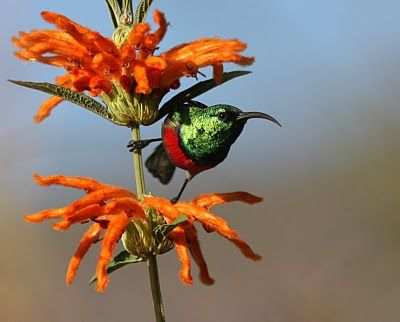Johannesburg Wildlife & Birding: Injisuthi - Part 1 (Sunbirds) from http://wildjohannesburg.blogspot.com/2010/05/injisuthi-part-1.html